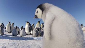 Die dreiteilige Dokumentation Pinguine hautnah begleitet drei Pinguinarten und ihre Kolonien auf ihrer beschwerlichen Reise.