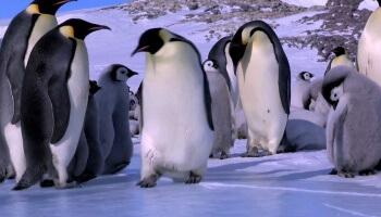Pinguin Fail Compilation